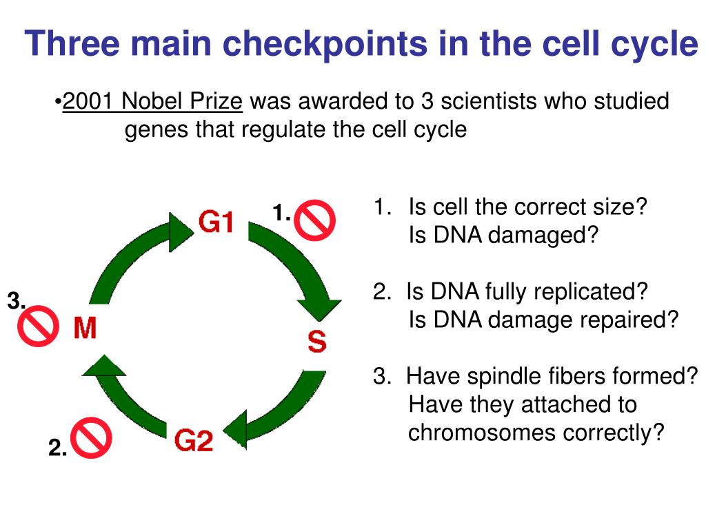Three main checkpoints in the cell cycle