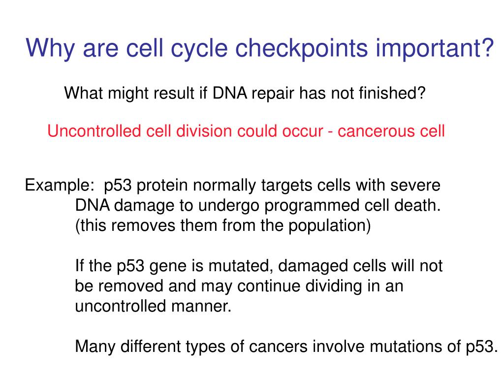 Why are cell cycle checkpoints important?