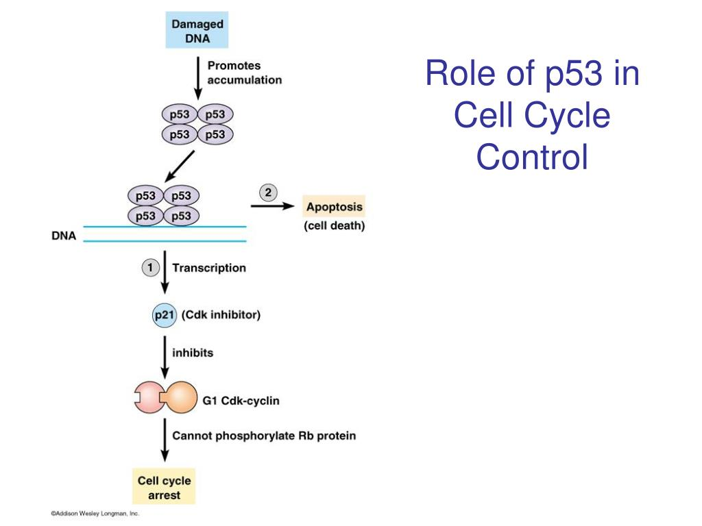 Role of p53 in Cell Cycle Control
