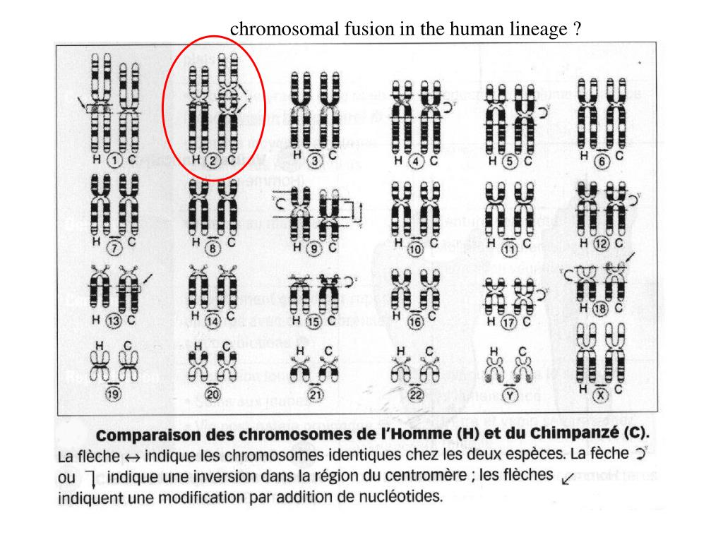 chromosomal fusion in the human lineage ?
