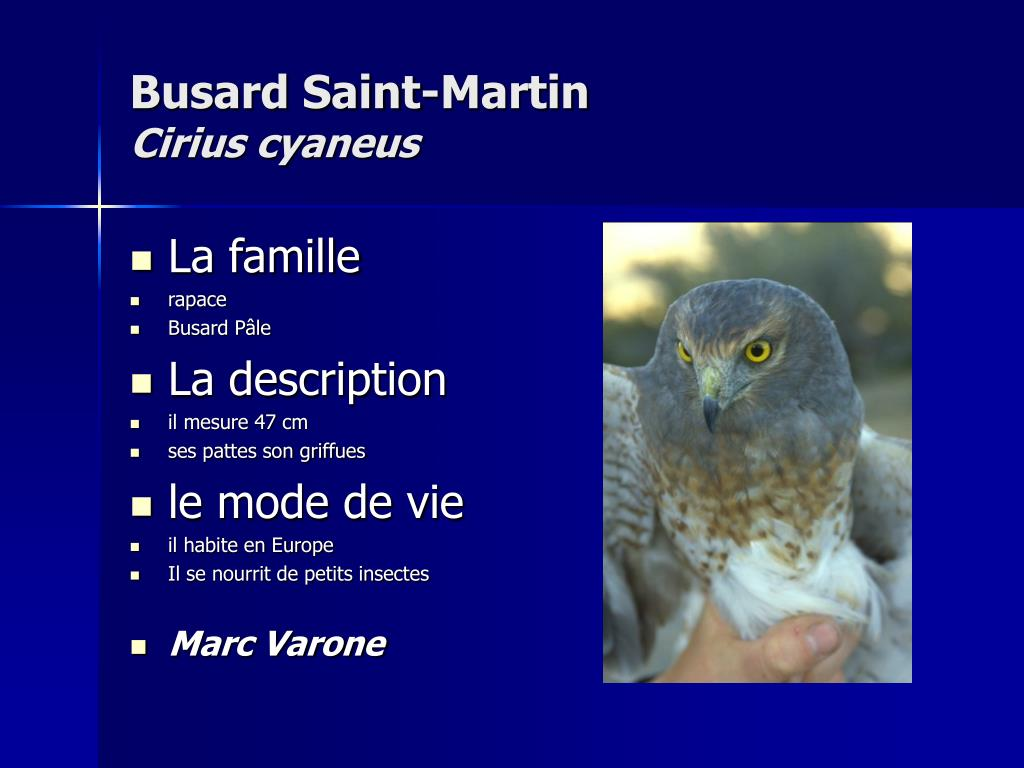 Busard Saint-Martin