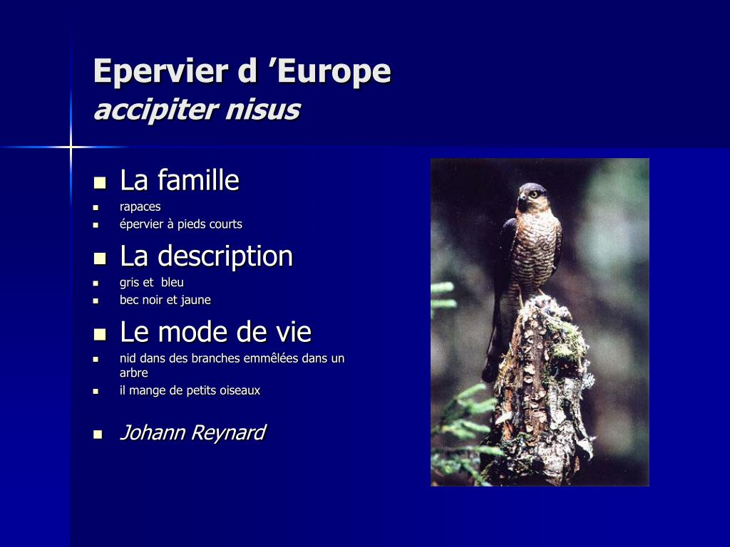 Epervier d'Europe