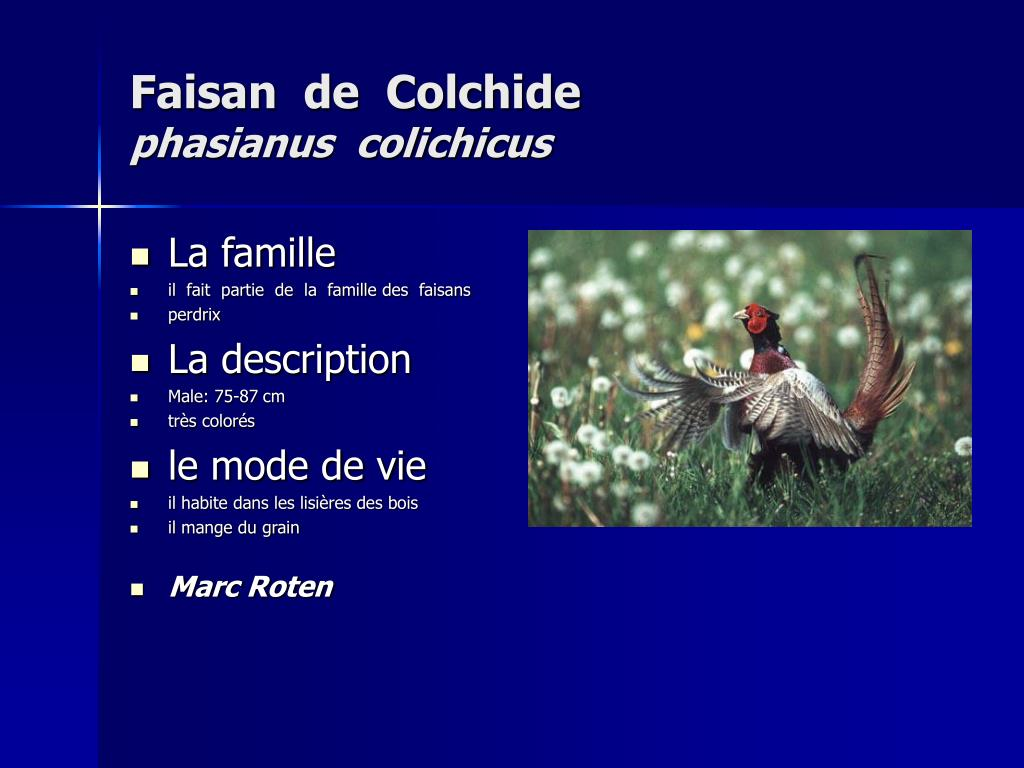 Faisan  de  Colchide
