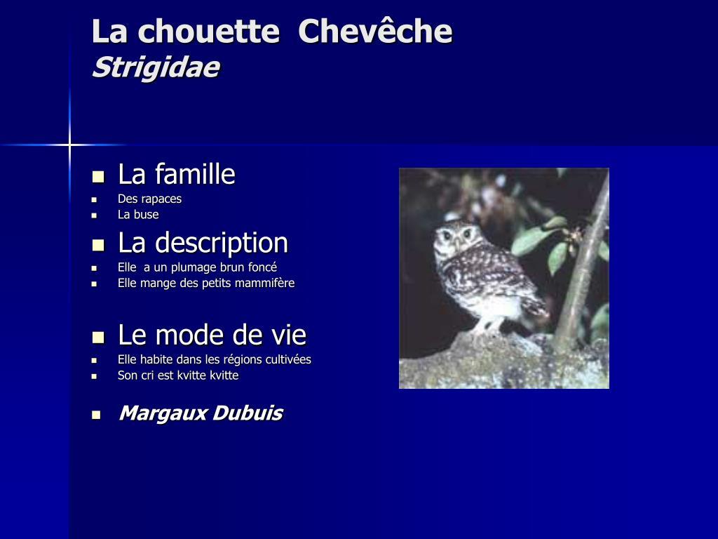 La chouette  Chevêche