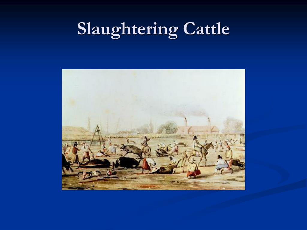 Slaughtering Cattle