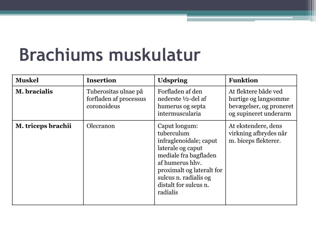Brachiums muskulatur