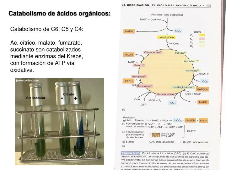 Catabolismo de ácidos orgánicos: