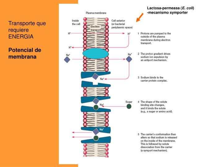 Lactosa-permeasa (