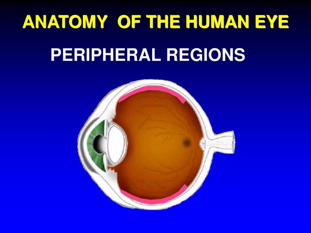 ANATOMY  OF THE HUMAN EYE