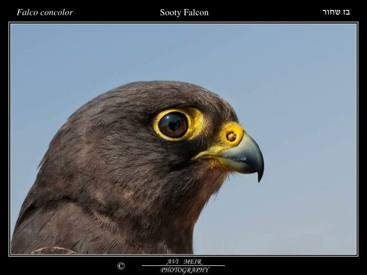 Falco concolor