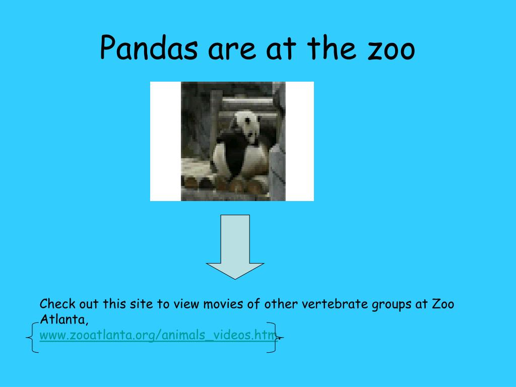 Pandas are at the zoo