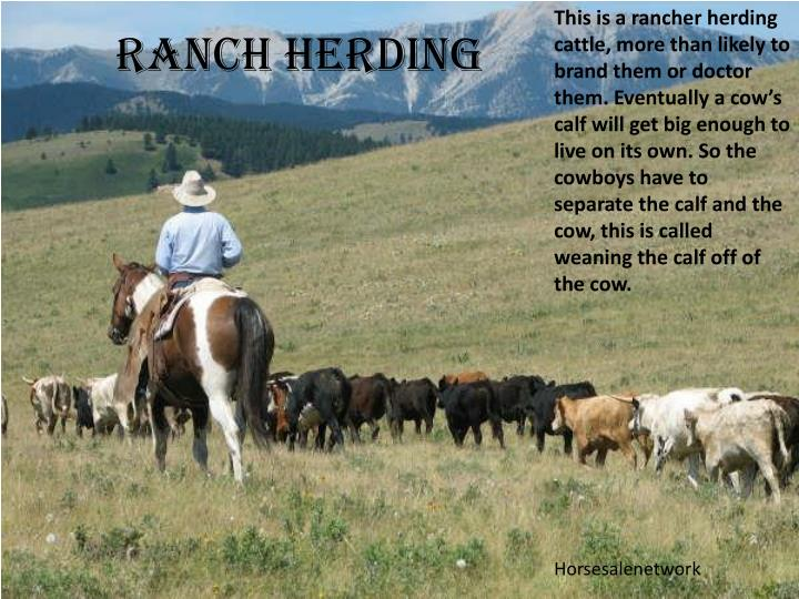 This is a rancher herding cattle, more than likely to brand them or doctor them. Eventually a cow'...