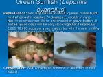 green sunfish lepomis cyanellus49