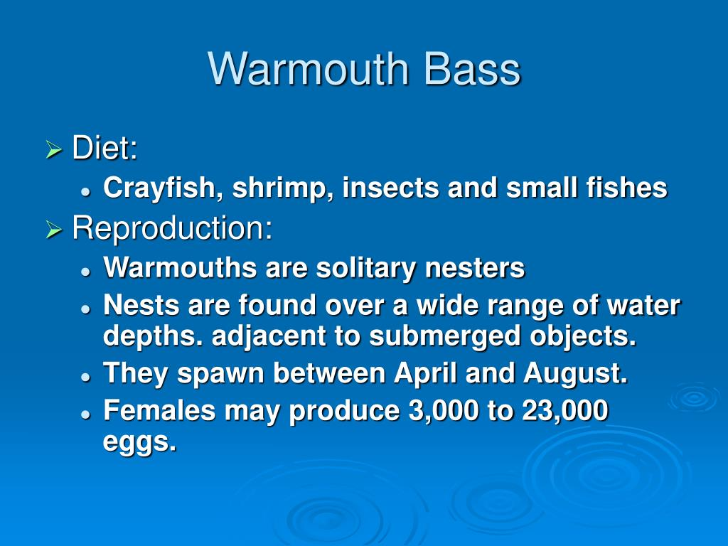 Warmouth Bass