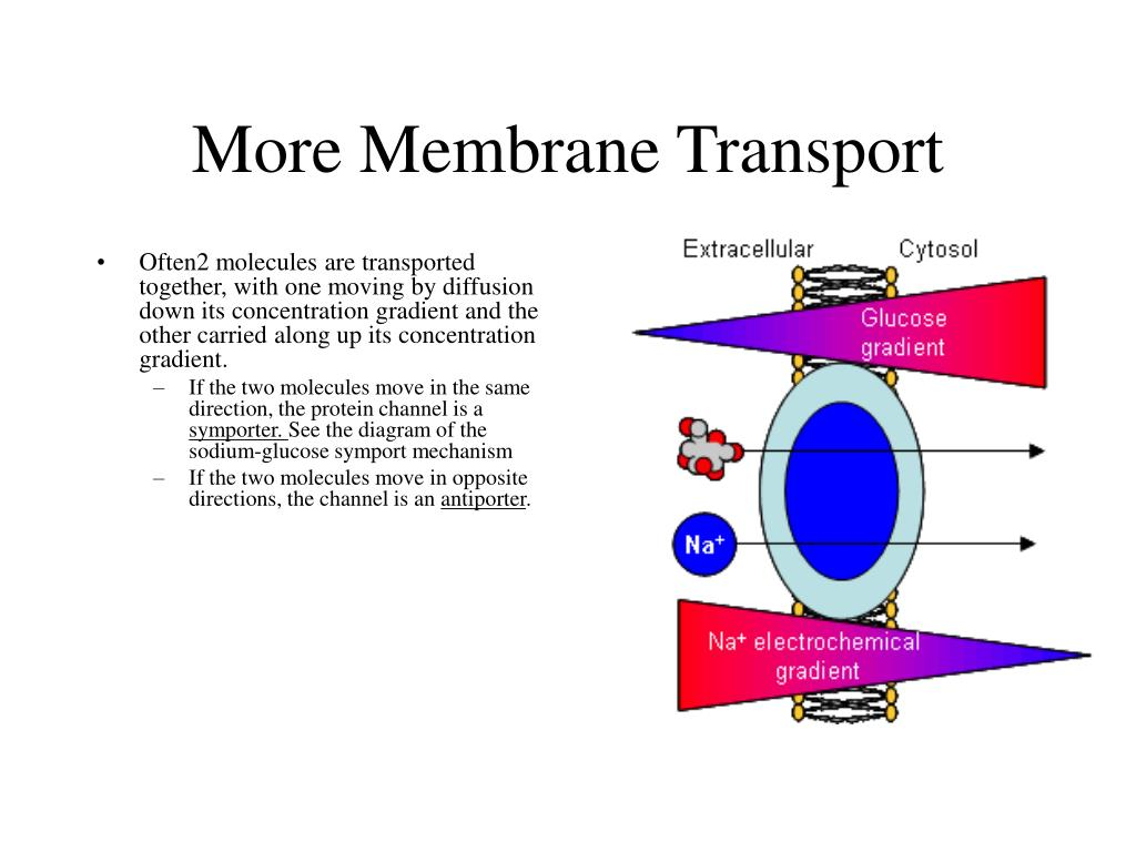 membrane transport Explore glenn kageyama's board membrane transport on pinterest | see more ideas about ap biology, biology and biochemistry.