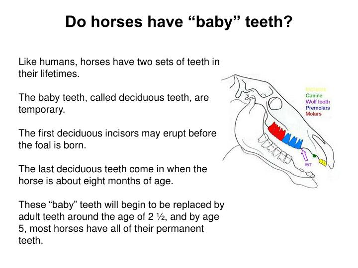 "Do horses have ""baby"" teeth?"