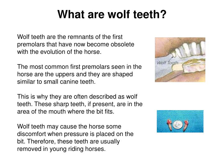 What are wolf teeth?