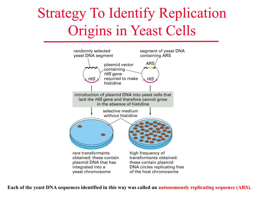 Strategy To Identify Replication Origins in Yeast Cells