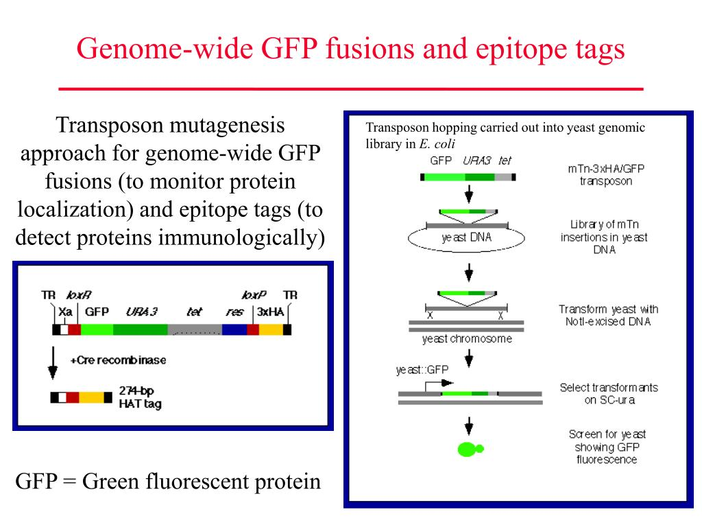 Genome-wide GFP fusions and epitope tags