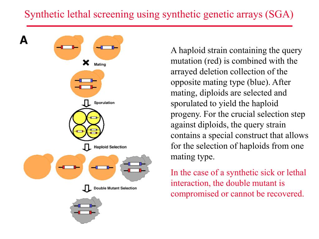 Synthetic lethal screening using synthetic genetic arrays (SGA)