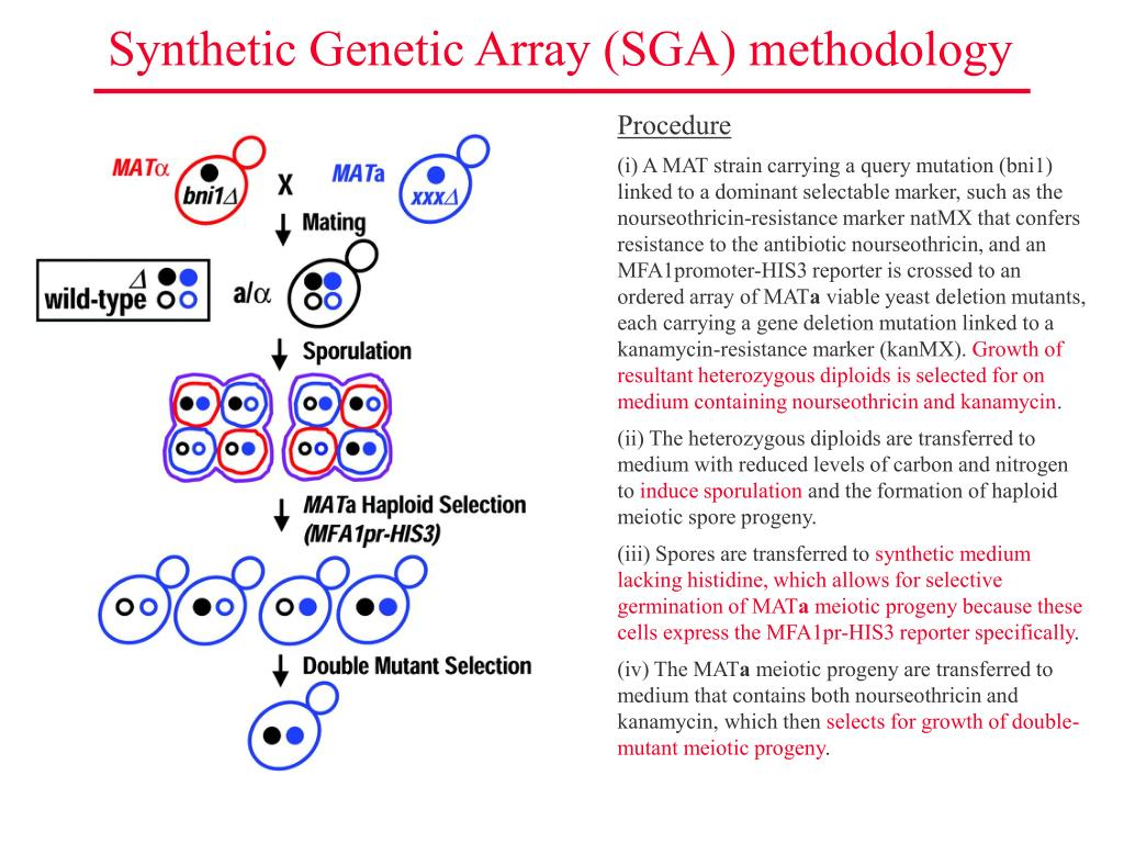 Synthetic Genetic Array (SGA) methodology