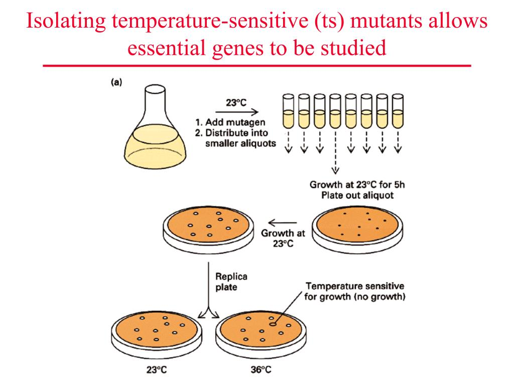 Isolating temperature-sensitive (ts) mutants allows essential genes to be studied