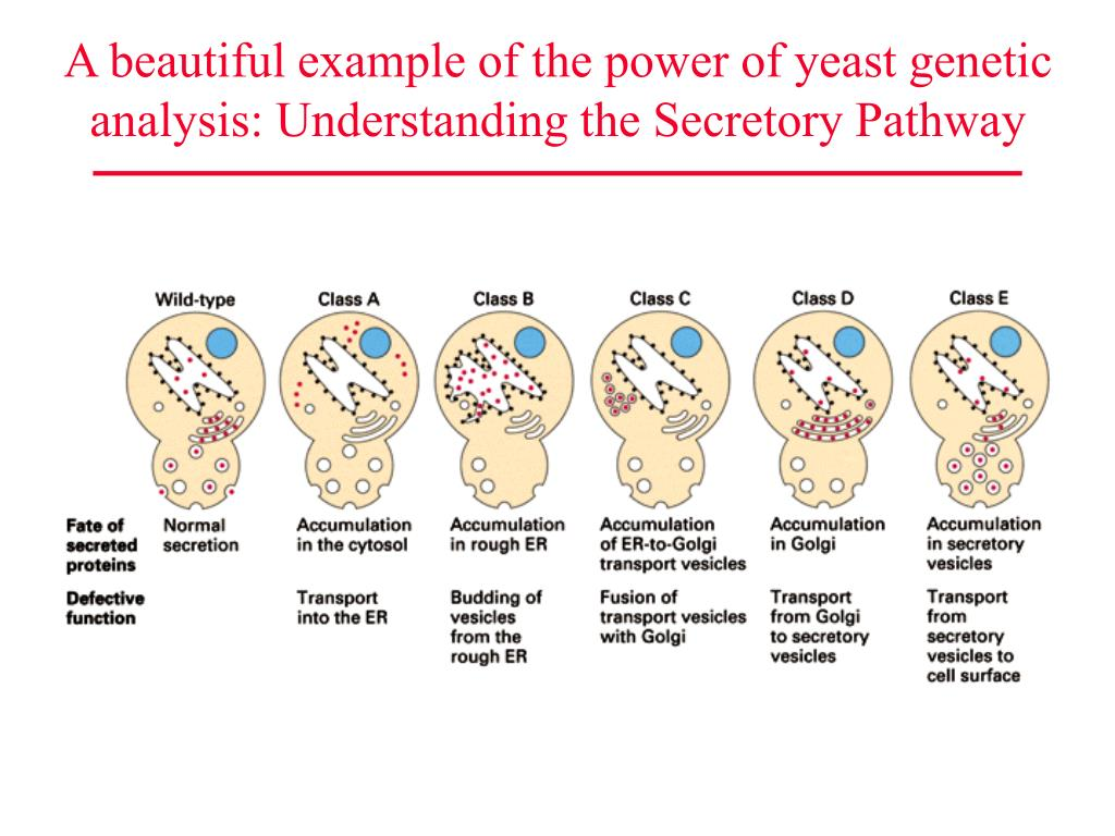 A beautiful example of the power of yeast genetic analysis: Understanding the Secretory Pathway