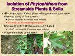 isolation of phytophthora from streamside plants soils