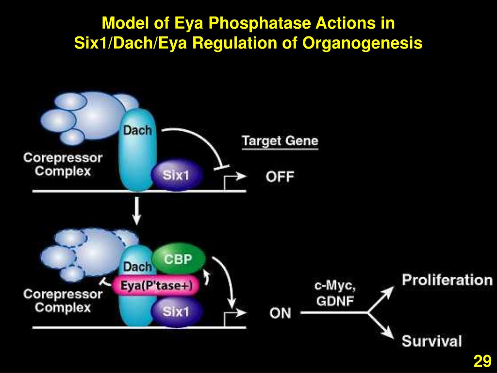 Model of Eya Phosphatase Actions in