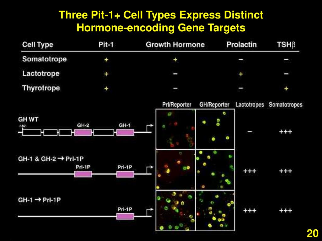 Three Pit-1+ Cell Types Express Distinct