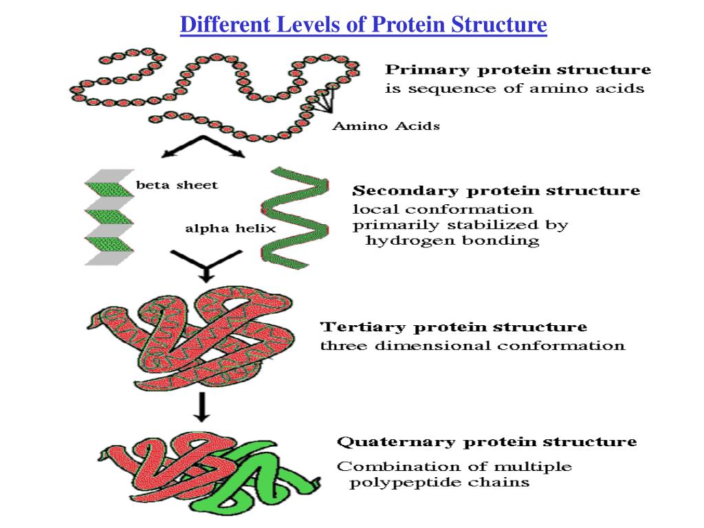 Different Levels of Protein Structure