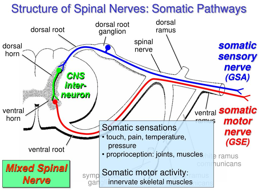 Structure of Spinal Nerves: Somatic Pathways