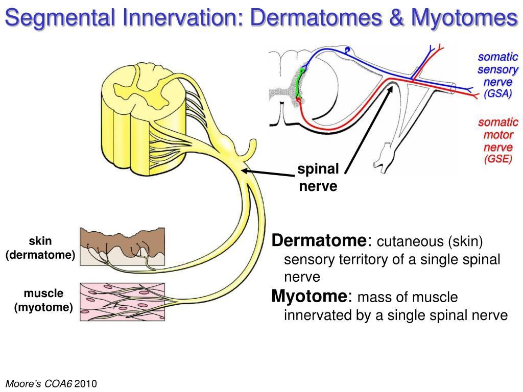 Segmental Innervation: Dermatomes & Myotomes