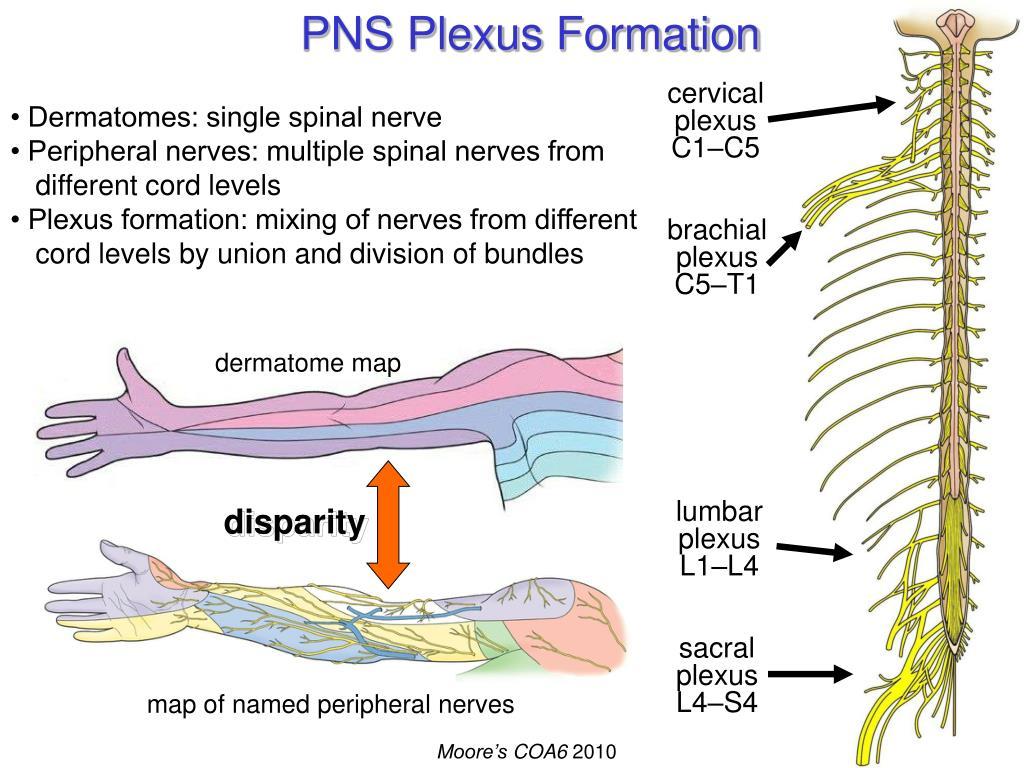 PNS Plexus Formation