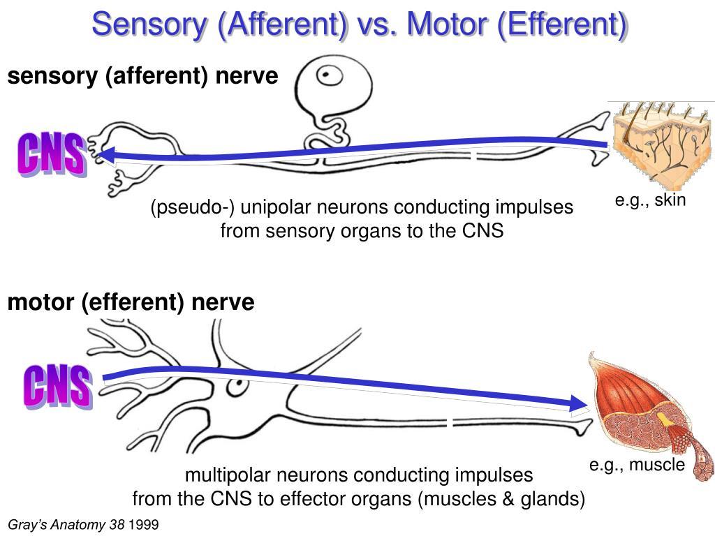 Sensory (Afferent) vs. Motor (Efferent)