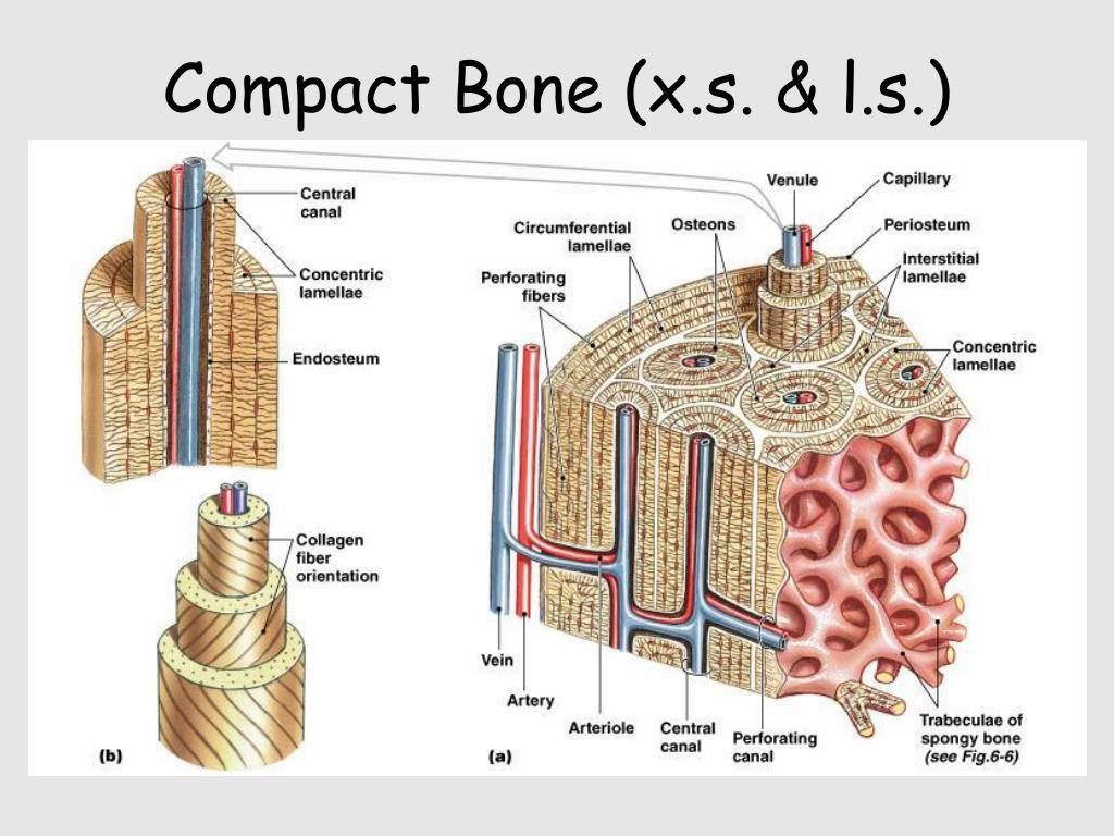 Compact Bone (x.s. & l.s.)