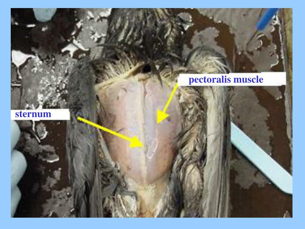 pectoralis muscle