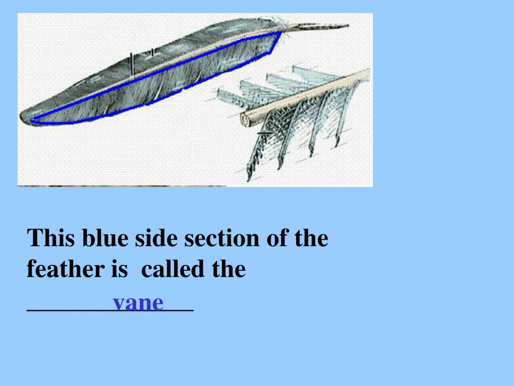 This blue side section of the feather is  called the _____________