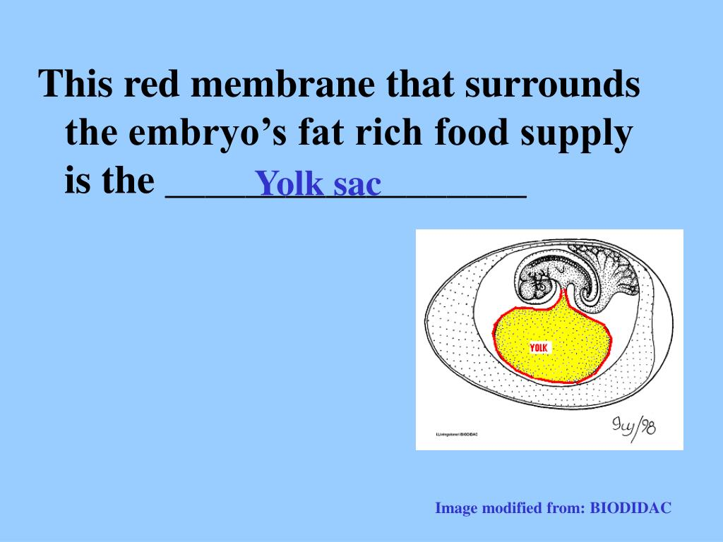 This red membrane that surrounds the embryo's fat rich food supply