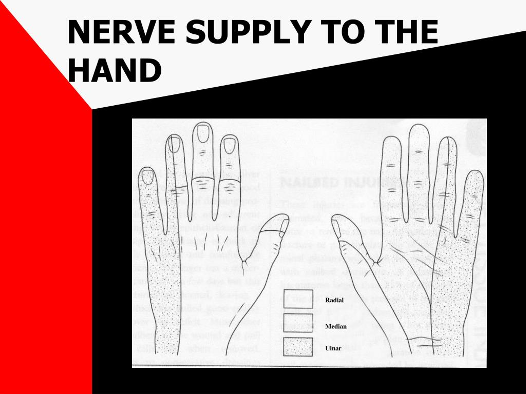 NERVE SUPPLY TO THE HAND