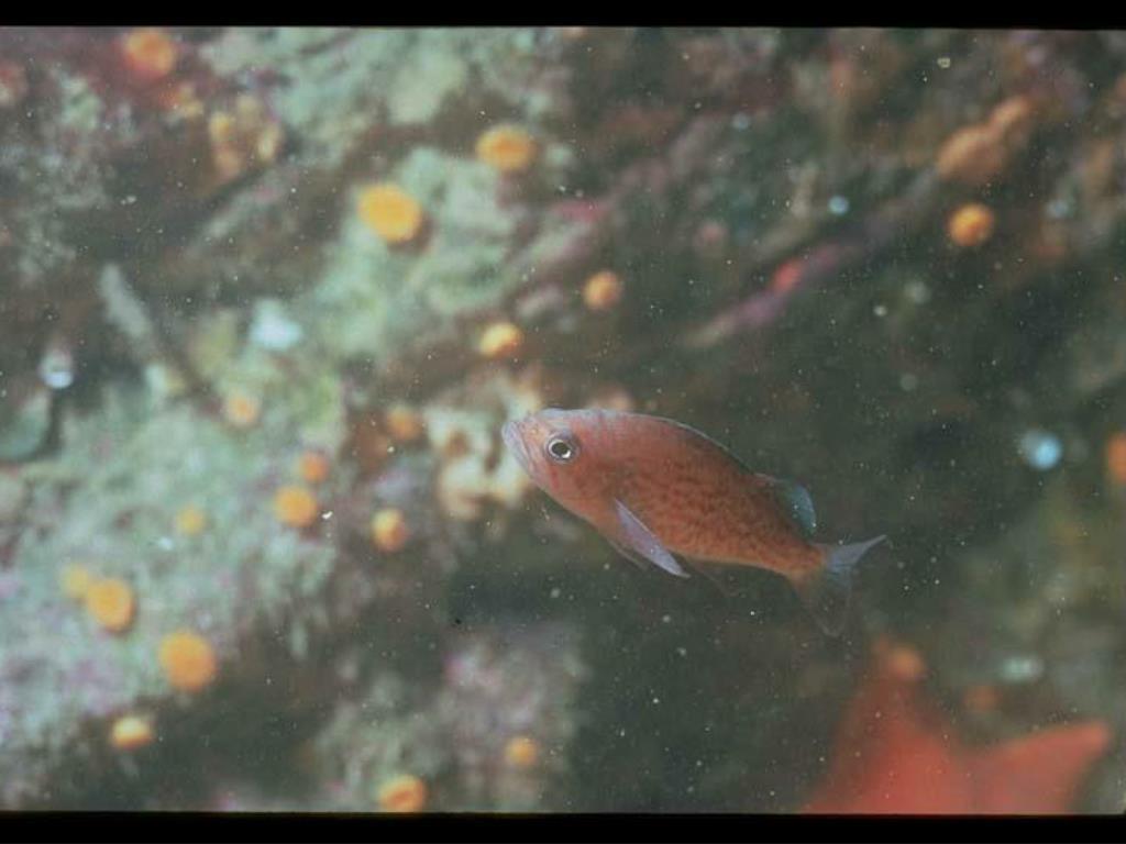20. Juvenile Blue Rockfish