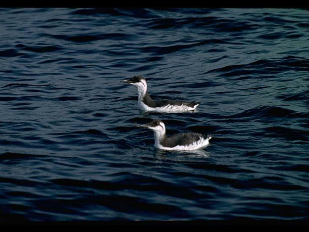 24. Common Murres on Water