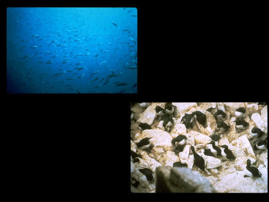 29. Schooling Fish and Murres