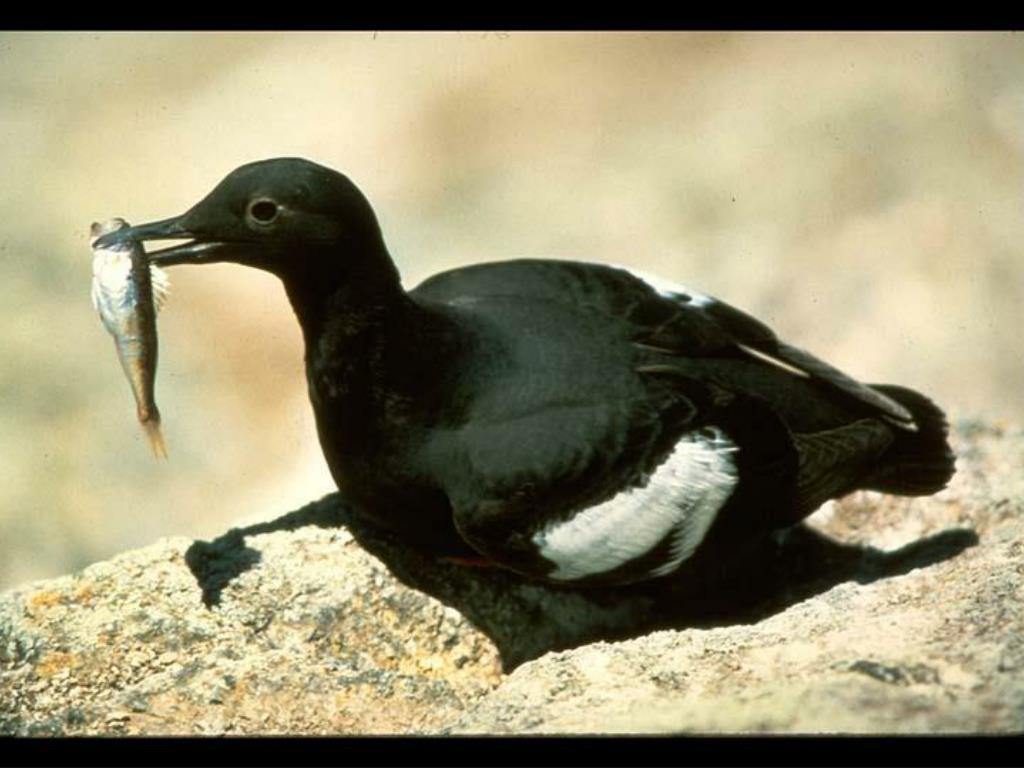 31. Pigeon Guillemot eating fish