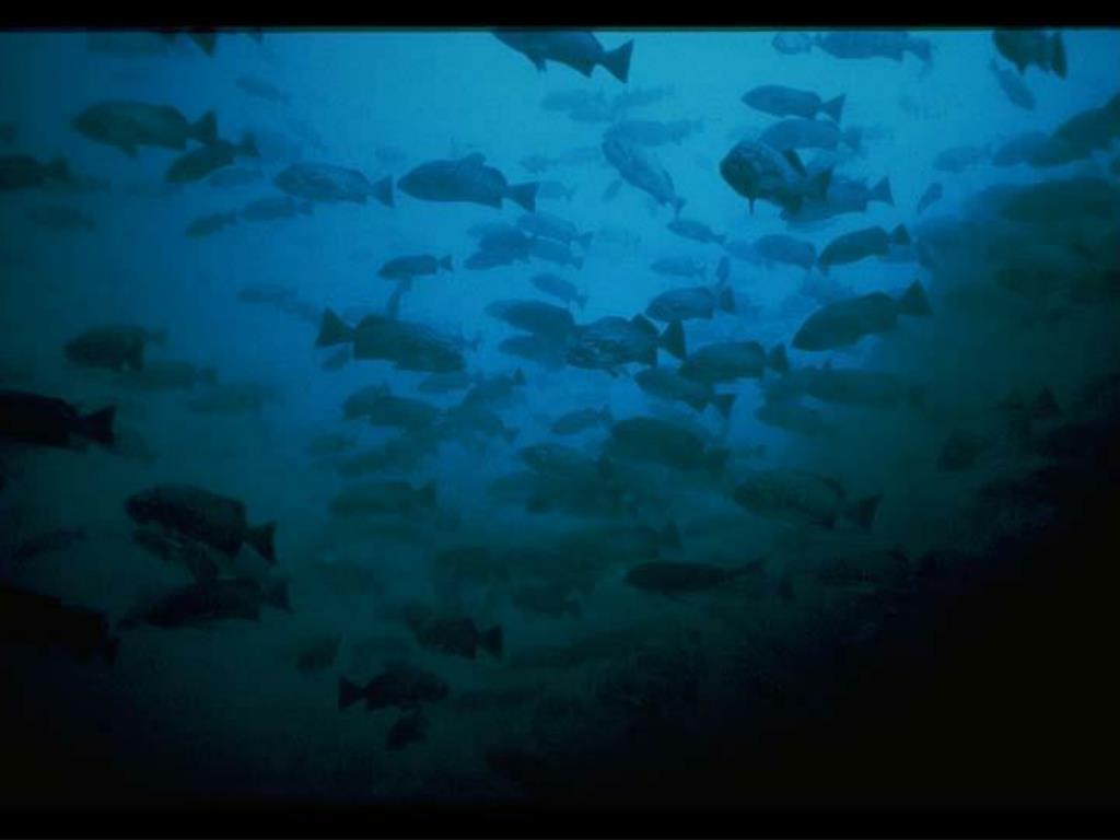 34. Blue Rockfish