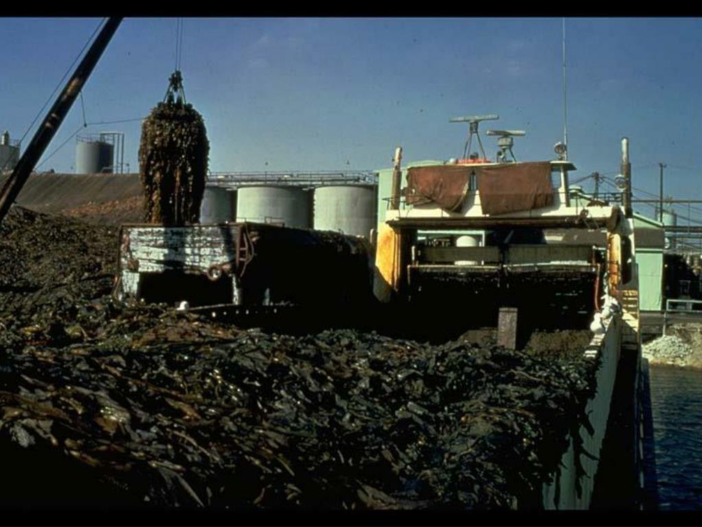 39. Kelp Harvest