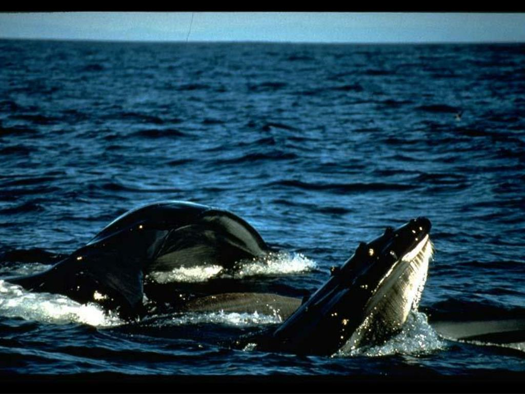 4. Humpbacks feeding