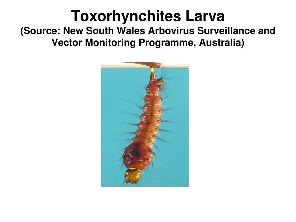 Toxorhynchites Larva