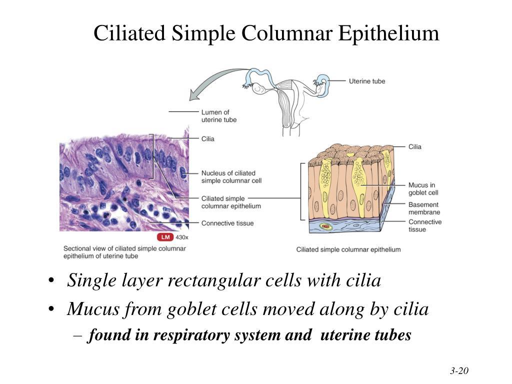 Ciliated Simple Columnar Epithelium