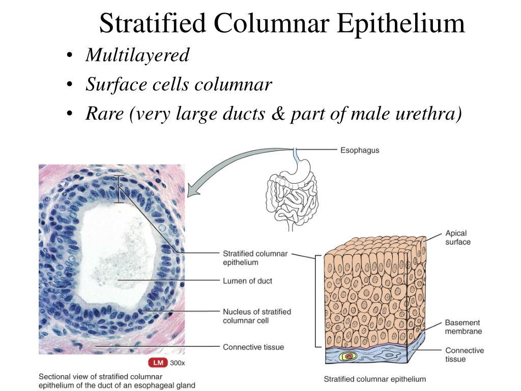 Stratified Columnar Epithelium